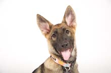 German Shepherd Breeder and Trainer